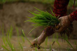 सुदूरपश्चिम प्रदेशमा यो वर्ष ८.४१ प्रतिशतले बढी धान रोपाइँ